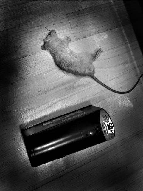 dead rat killed by Victor Electronic Rat Trap